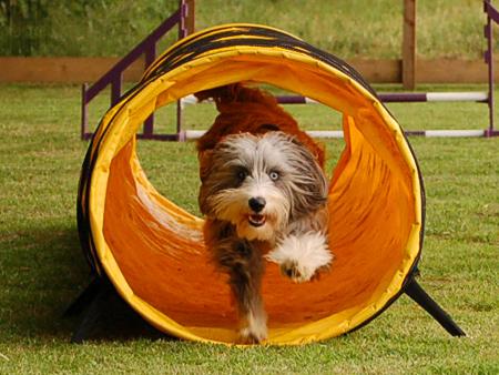 Dog running through agility tunnel