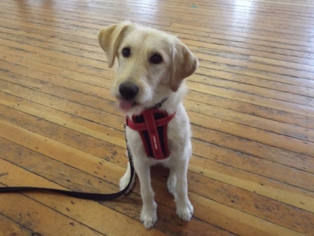 Holly dog sat in training class