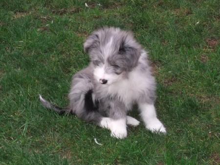 Kizzy bearded collie dog 8 weeks old