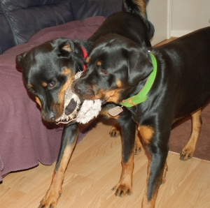 Two dogs playing tug